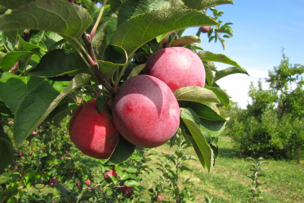 photo of apples at Westward Orchards, Harvard, MA
